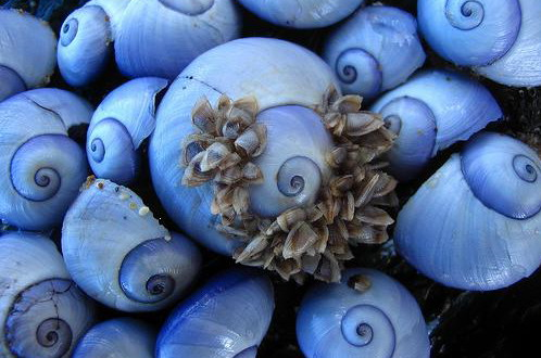 Purple sea snails rotate crop